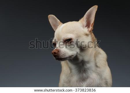 Closeup Portrait of Sadly Chihuahua dog on Blue background - stock photo