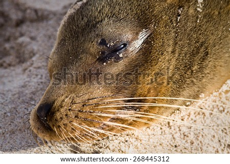 Closeup portrait of sea lion relaxing in a beach at the Galapagos Islands, Ecuador