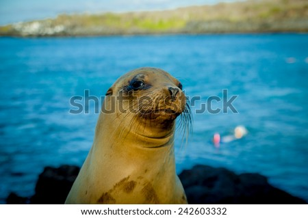 closeup portrait of sea lion's face looking at camera with sea on the backgroundgalapagos islands - stock photo