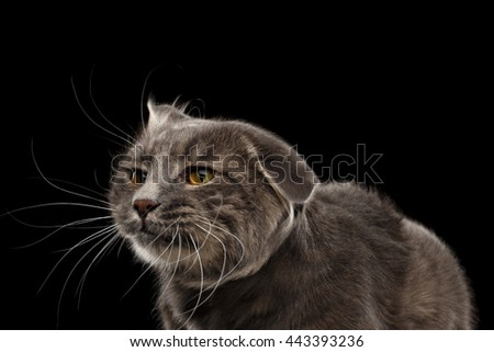 Closeup Portrait of Shake Head Cat with Yellow eyes Curious Looks, Isolated Black Background, Front view, Funny Cat Face, Cute Cat - stock photo