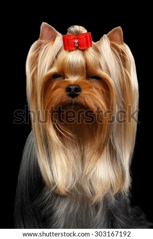 Closeup Portrait of Squints Yorkshire Terrier Dog on Black background