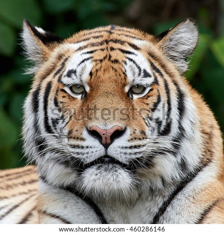 Closeup portrait of the Amur tiger (Panthera tigris altaica) with vegetation in the background