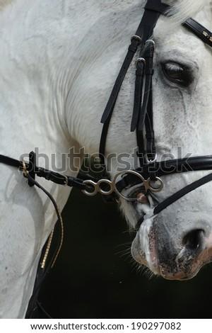 Closeup portrait of the white sport horse - stock photo