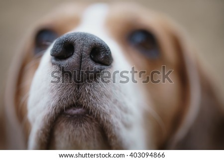 closeup portrait of tricolor beagle dog, focus on the nose - stock photo