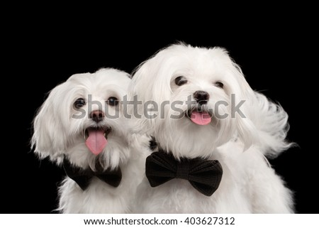 Closeup Portrait of Two Happy White Maltese Dogs with bow Looking in Camera isolated on Black background - stock photo