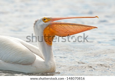 Closeup profile of American white pelican, pelecanus erythrorhynchos, with its beak open showing off its throat sac - stock photo