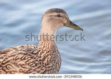 Closeup profile of female mallard duck (Anas platyrhynchos) - stock photo