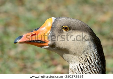 Closeup  profile portrait of a brown goose with orange and black beak. - stock photo