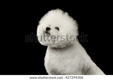 Closeup Purebred White Bichon Frise Dog Sitting and proudly looking up isolated Black Background - stock photo