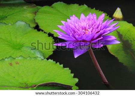 closeup purple water lily blooming in the garden - stock photo