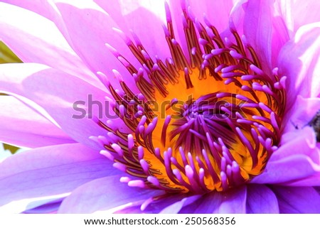 closeup purple water lily in garden - stock photo