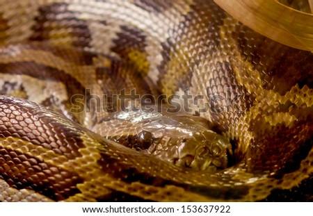 Closeup Python snake  - stock photo