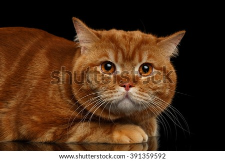 Closeup Red British cat Lying with a frightened look isolated on Black Background  - stock photo