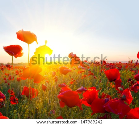 closeup red poppies in a rays of sun - stock photo