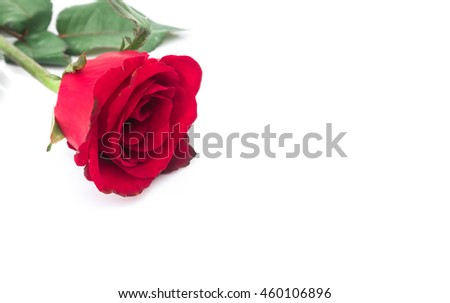 Closeup red rose color on white background, love and romantic concept, selective focus - stock photo