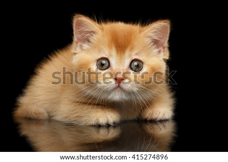 Closeup Red Scottish Straight Kitten Looks question in Camera Isolated on Black Background