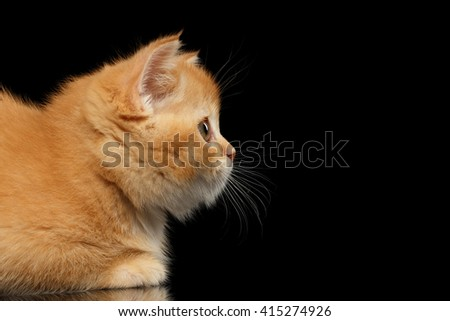 Closeup Red Scottish Straight Kitten Snout in Profile, side view Isolated on Black Background - stock photo