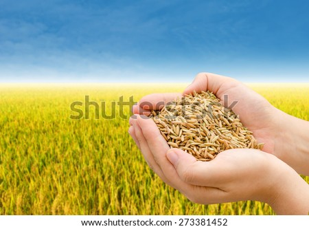 Closeup rice on farmer hand with rice field in background - stock photo
