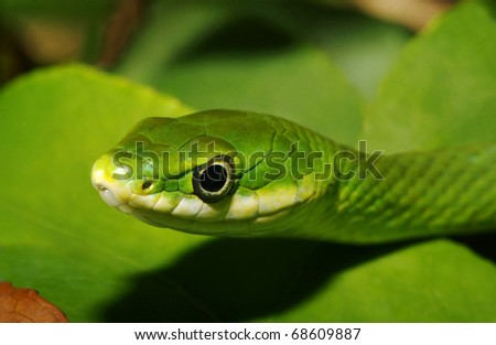 Closeup Rough Green Snake