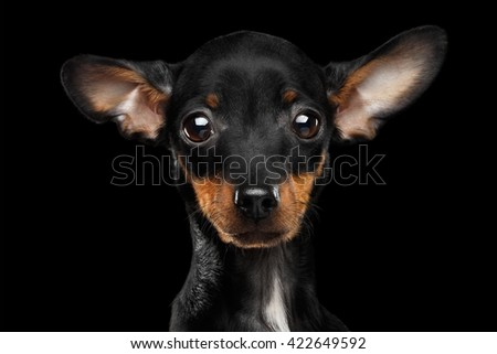 Closeup Sadly Toy Terrier Puppy Looking in Camera Isolated on Black Background - stock photo