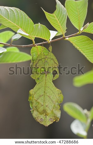 Closeup shot of a leaf-insect, Phylliidae, on a guava tree - stock photo