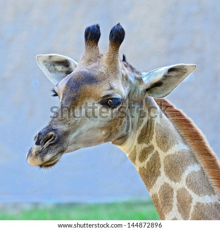 Closeup shot of giraffe - stock photo