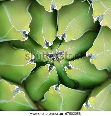 closeup shot of green succulent plant agave - stock photo