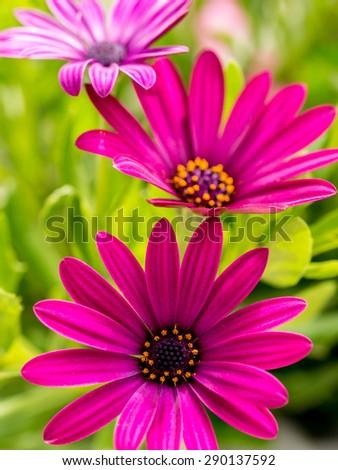 Closeup shot of osteospermum flowers - stock photo