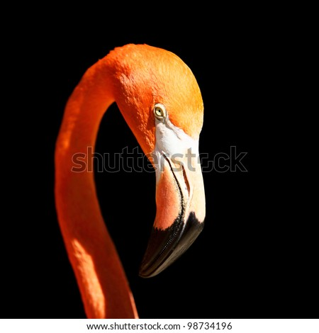 closeup shot of pink flamingo isolated on black - stock photo