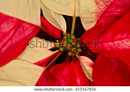 Closeup shot of Poinsettia, the Christmas flower, shallow focus - stock photo