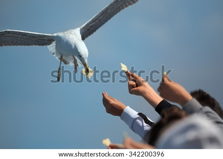 closeup shot of sea gull in flight collecting biscuits from outstretched hands of people