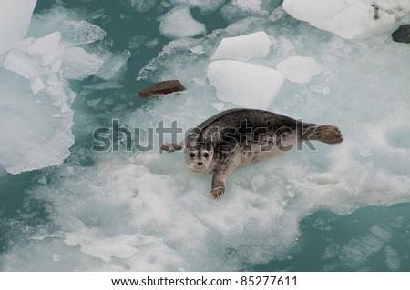 Closeup shot of wild seal on huge iceberg. - stock photo