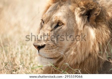 Closeup shot of young male lion in Serengeti National Park, Tanzania - stock photo