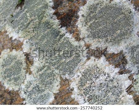 closeup shot showing some lichen on wooden ground - stock photo