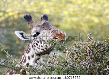Closeup showing the wounds on the mouth of Giraffe - stock photo