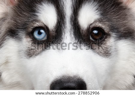 Closeup Siberian Husky Puppy with Different Eyes - stock photo