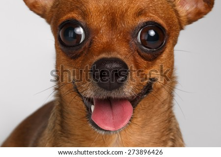 Closeup Smiling Brown Toy Terrier with big eyes on White Background - stock photo