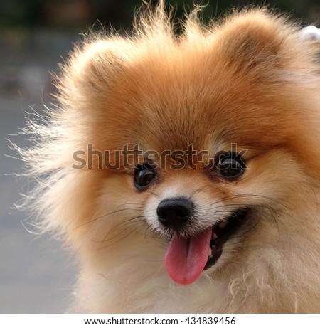 Closeup smiling face of Pomeranian dog. - stock photo