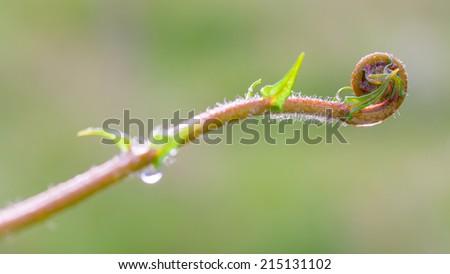 Closeup spiral of ferns leaf. - stock photo