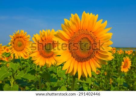 closeup sunflowers - stock photo