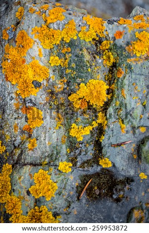 Closeup texture of yellow and green lichen growing on gray stone - stock photo