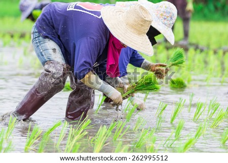 Closeup Thai farmer growing rice - stock photo