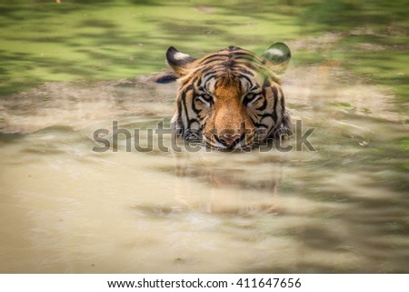 Closeup tiger face in the water. - stock photo