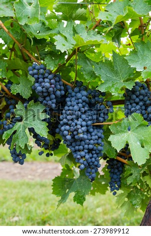 Closeup to a large bunch of Red Wine Vineyard Grapes during the day - stock photo