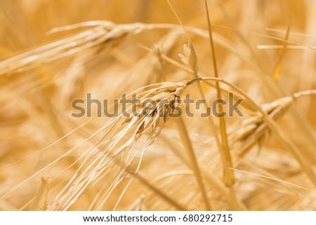 stock-photo-closeup-to-fresh-barley-grai