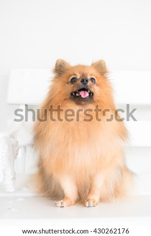 closeup to the eye, pomeranian