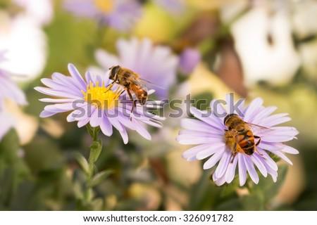 closeup  two Honey bees on purple New York aster ( (botanical name: Aster novi-belgii or Symphyotrichum novi-belgii) - stock photo