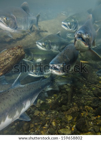 Closeup underwater view of a school of sockeye salmon spawning in the Kenai River Alaska heads facing photographer with mouths open