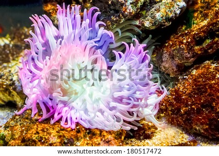 Closeup up a colorful sea anemone. - stock photo