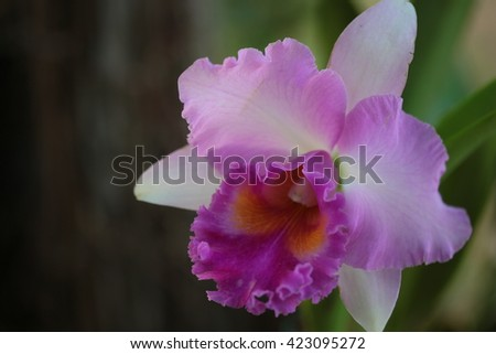 Closeup  Vanda orchid on nature background From Thailand. No retouching